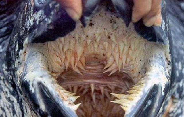 La bouche qui fait peur de la tortue luth for Interieur bouche